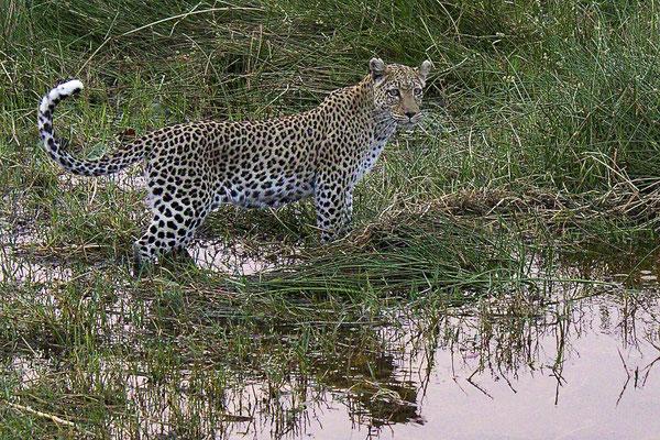 Luipaard, Khwai river