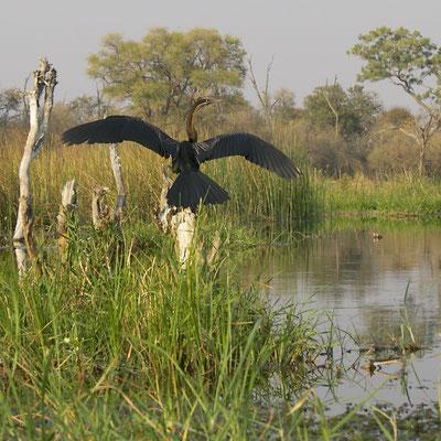 Afrikaanse Slangenhalsvogel, (African Darter), Khwai river