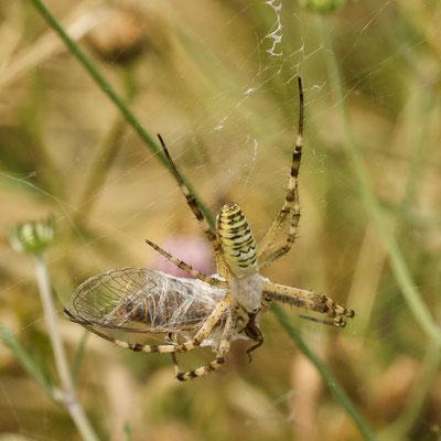 Wespspin/Argiope bruennichi. Heeft een forse Cicade in het web, die geheel ingesponnen wordt, maar.....
