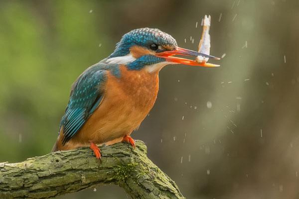 IJsvogel slaat visje eerst dood, voor het ingeslikt wordt.
