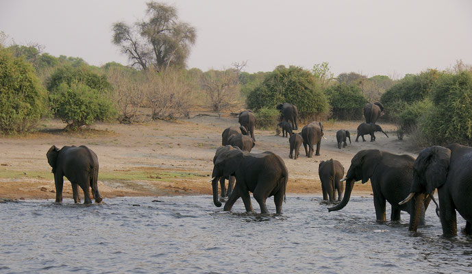 Olifanten in de Chobe river