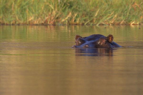 Nijlpaard, bij Gunns camp