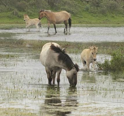 Konikpaarden in Egmond aan zee
