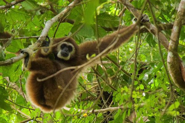 Gibbon. Sumatra.