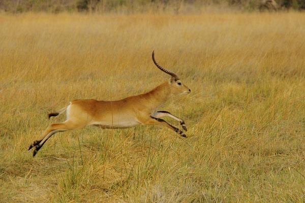 Litschiewaterbok, Moremi, Okavango delta