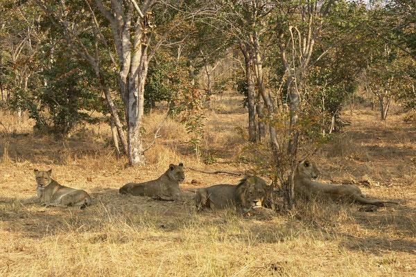 Leeuwen, Chobe national park