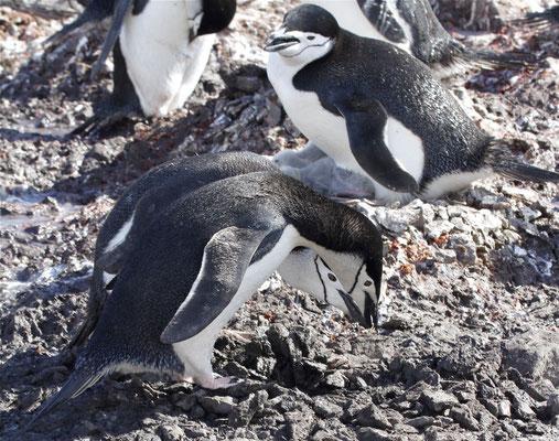 Stormband Pinguïn voert nestmateriaal (steentjes) aan