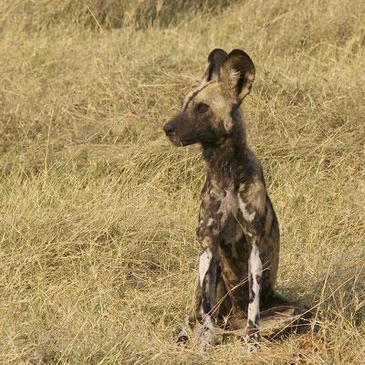 Wilde hond, Sango
