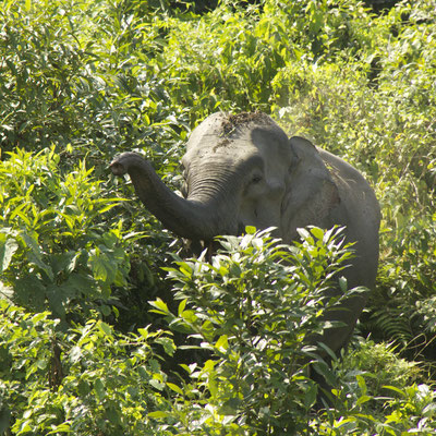 Indische olifant, Royal Manas National Park