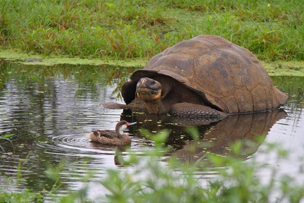 Galapagos Reuzenschildpad en Galapagos Pintail/Witwang Pijlstaart(eend)