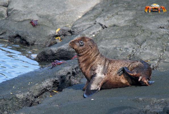 Jonge Galapagos Zeeleeuw