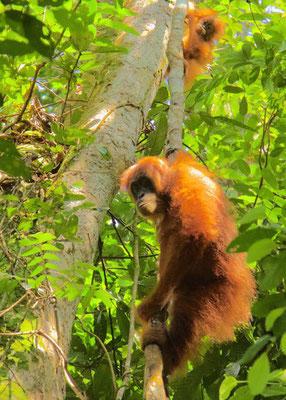Orang Oetan, moeder met baby. Sumatra.