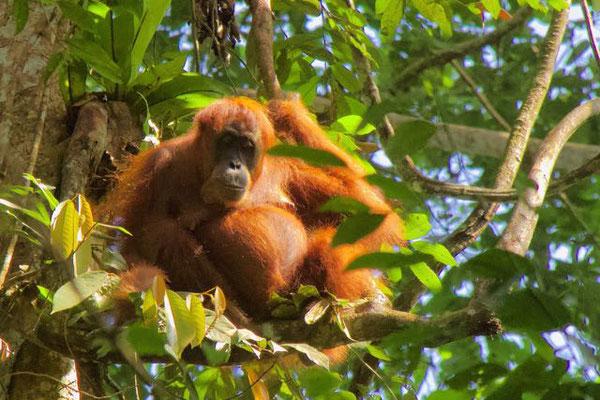 Orang Oetan. Sumatra.