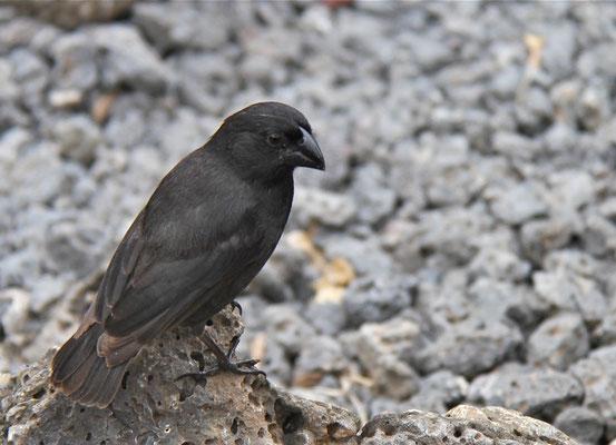 Een van de vele soorten'Darwinvinken'