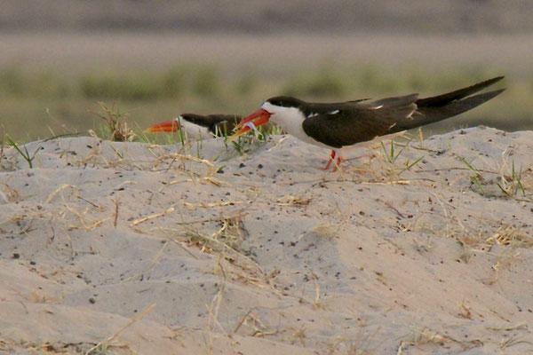 Afrikaanse schaarbek (African Skimmer/Rynchops flavirostris), Chobe river
