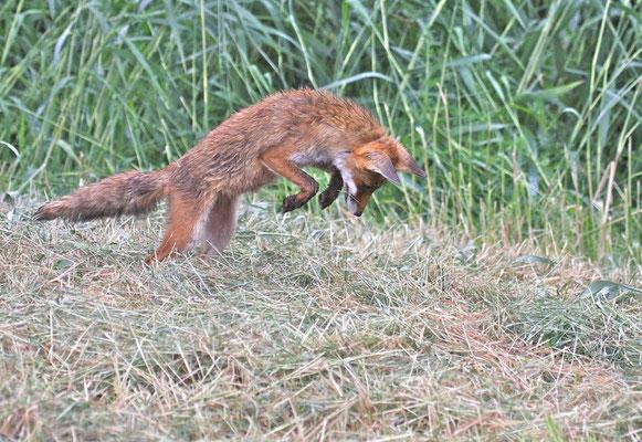 Vos jaagt op muizen in hooiland, Flevoland