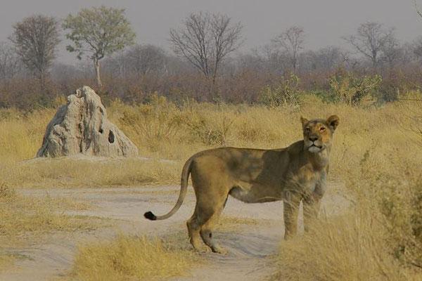 Termietenheuvel en leeuwin, bij Khwai river