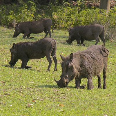 Wrattenzwijnen (Warthogs), bij Chobe river