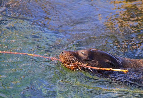 Jonge Galapagos Zeeleeuw spelend met tak