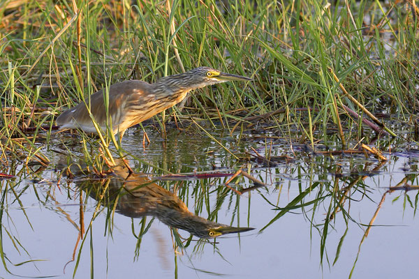 Ralreiger, (Squacco heron, Ardeola ralloides), bij Gunns camp