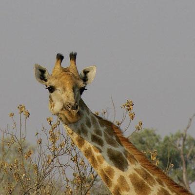 Giraf, Khwai river