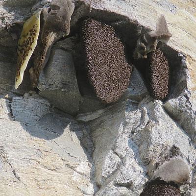 Bijenkolonies aan een rotswand