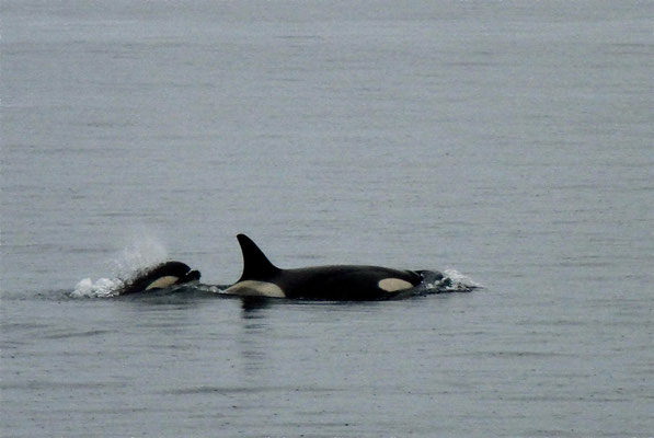 Orca met jong