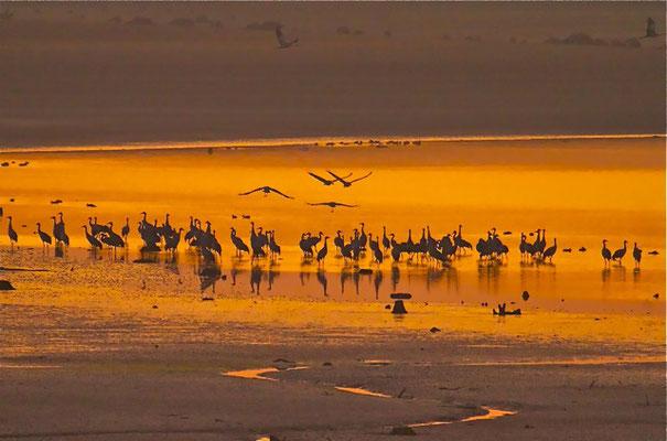 Kraanvogels, Lac du Der (Fr.)