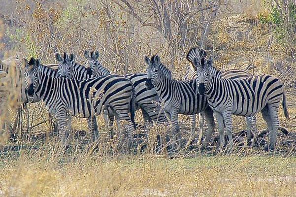 Zebra's, Chiefs island