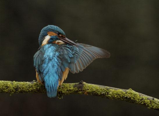 IJsvogel brengt veren op orde na de paring.