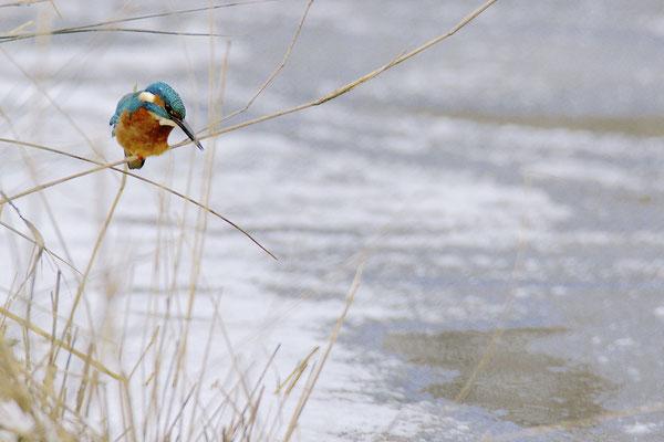 IJsvogel bij wak, Naardermeer