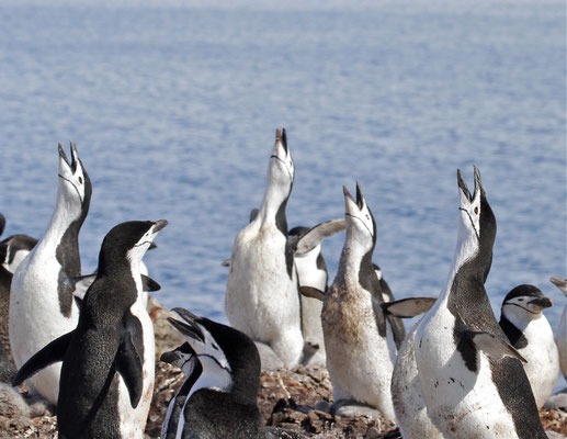 Balts van Stormband Pinguïn (Chinstrap penguin)