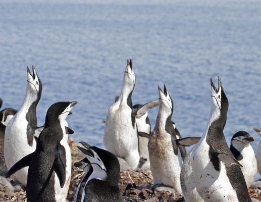 Balts van Stormband Pinguïns (Chinstrap penguin)