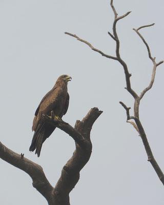 Zwarte wouw, New Delhi