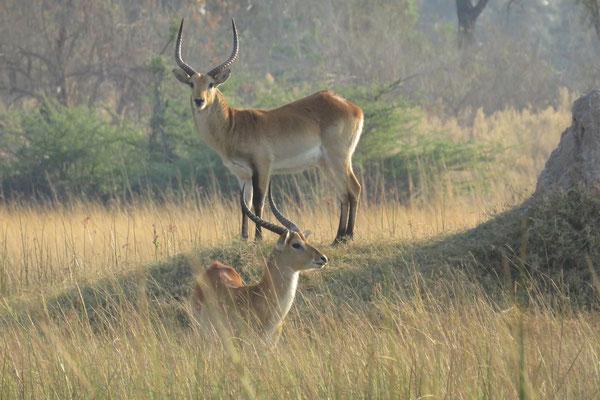 Litschiewaterbok, (Moerasantilope of Lechwe (Kobus leche), bij Gunns camp