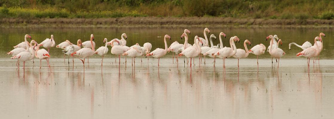 Flamingo's, Donana, Spanje.
