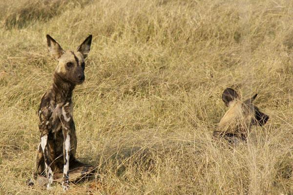 Wilde honden, Sango