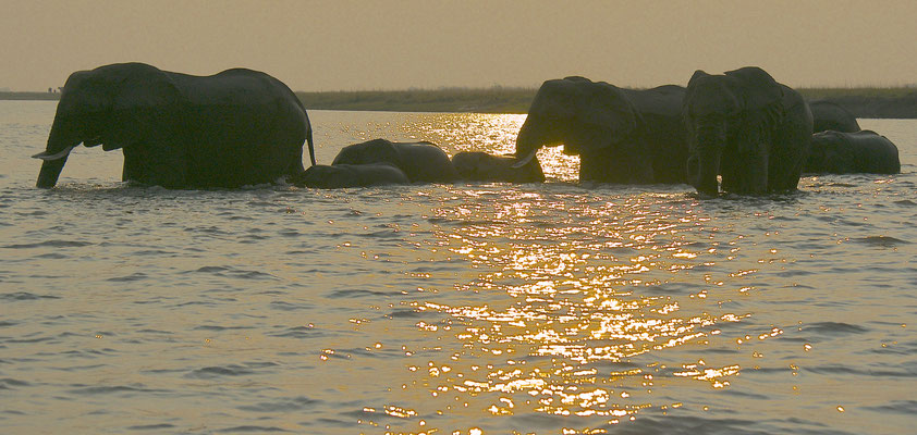 Olifanten steken de Chobe river over