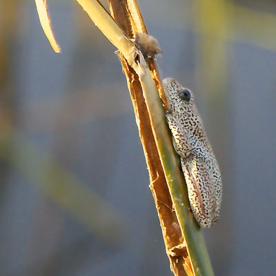 Deze minuscule (2,5 cm) kikkertjes maken een enorm  geluid. Ze zijn zeer lastig te spotten.