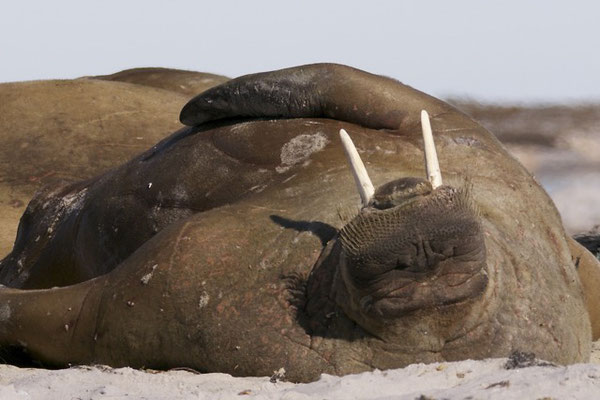 Walrussen (1500 kilo)