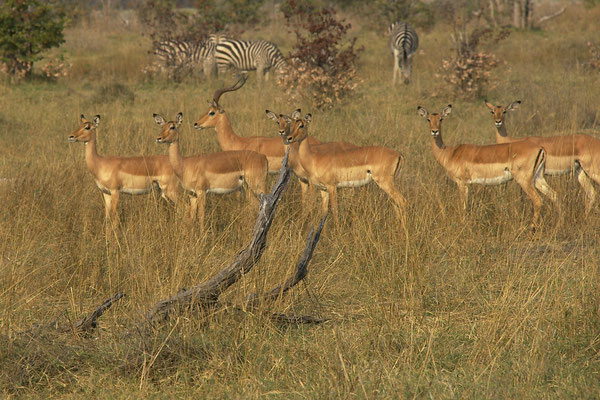 Impala's, Sango