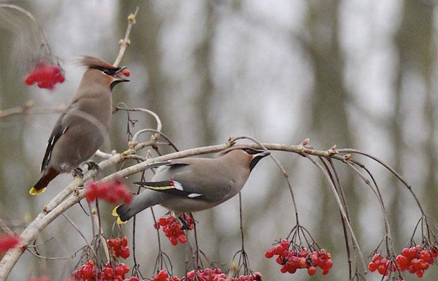 Pestvogels, Utrecht
