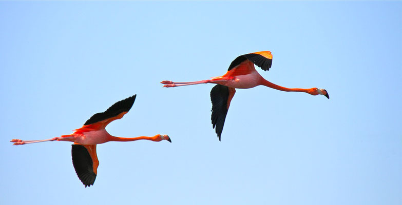 Grote Flamingo's