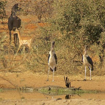 Krokodil met prooi ('n parelhoen), Maraboe's,Koedoe en Impala Victoria national park