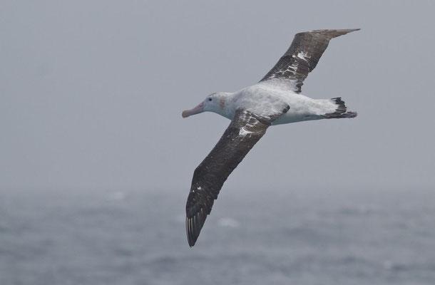 Reuzen Albatros