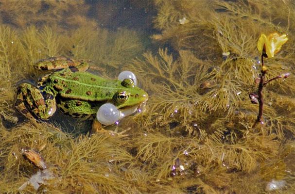 Groene Kikker, Blaasjeskruid. Bethune polder