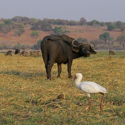 Afrikaanse of Kaapse Buffel, Waterbokken en Afrikaanse Lepelaar aan de Chobe river