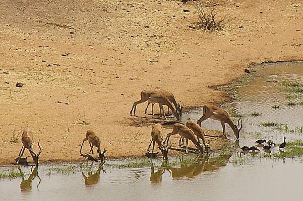 Impala's, Victoria national park
