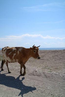 Kuh am Strand, Himarë