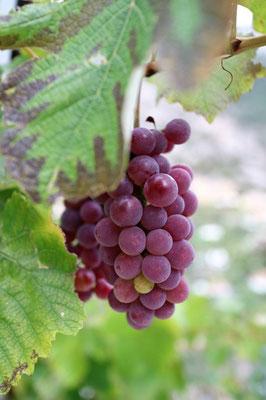 Weintrauben im Garten von Rooms Emiliano, Kruja